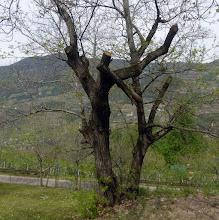 Photo: Ein älterer Baum. Man beschneidet vielleicht alle 15 Jahre oder seltener. Eine Kletterpartie. Sind die fallenden Äste zu schwer, so werden sie zur Gefahr der unteren.