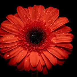 Gerbera Daisy by Debbie Quick - Flowers Single Flower ( spring, debbie quick, gerbera daisy, flora, daisy, debs creative images, flower )