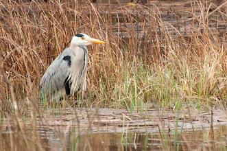 Photo: Grey Heron (Graureiher); Inchnadamph, SCOT