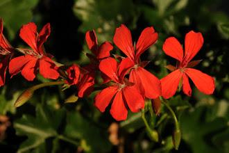 Photo: Original photo - red geraniums