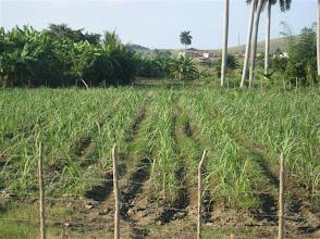 Photo: Semilla de caña: 2 t/ha  (0.6 m x 1.4 m e/surcos). Sustainable Sugarcane Initiative (Sistema de Caña de Azúcar Sostenible - SiCAS)  [Photo by Rena Perez]
