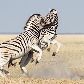 playfull by Rian Van Schalkwyk - Animals Other Mammals ( savanna, playfull, etosha national park, zebra,  )
