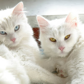 White satin by Mitja Derenda - Animals - Cats Portraits ( cat, pet, white, cute, animal )