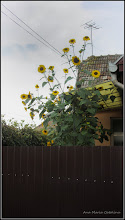 Photo: Floarea-soarelui (Helianthus annuus) - de pe Str. Izvor - 2016.09.06