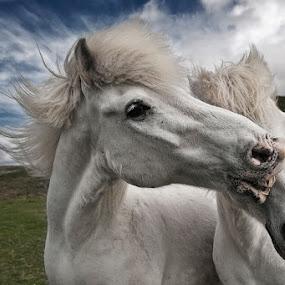 Playtime by Bragi Ingibergsson - Animals Horses ( iceland, animals, horses, nature, brin, bragi j. ingibergsson, summer )