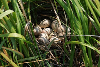 Photo: Clapper Rail nest at Middle Marshes - Rachel Carson Reserve