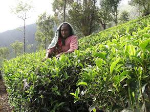 Photo: 7B220950 na plantacji herbaty