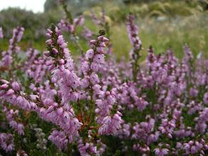 Photo: De første røsslyng-blomster.