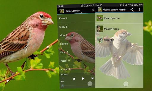 Eurasian Tree Sparrow Singing