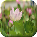 Lotus Flower Live Wallpaper icon