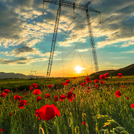 Poppies flowers at the sunset by Stefan Sorean - Landscapes Sunsets & Sunrises ( color, poppy, beauty, rural, flora, summer, spring, red, agriculture, beautiful, bloom, grass, season, land, meadow, floral, sky, blossom, green, natural, nature, flower, sunlight, field, background, idyllic, plant, sunset, garden, wild, landscape )