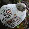 Bamboo fungus, Bamboo pith, Long net stinkhorn, Crioline stinkhorn or Veiled lady.