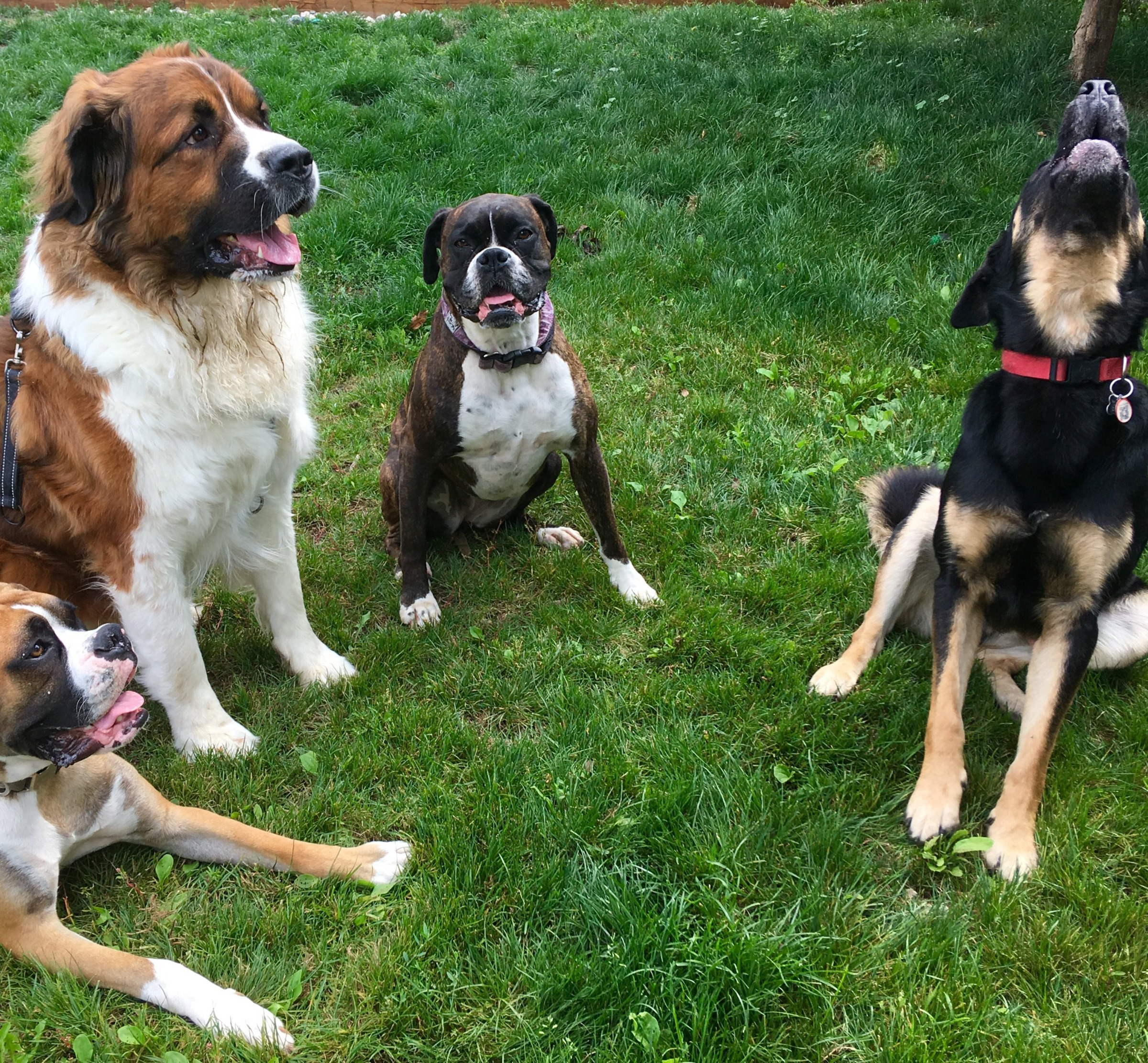 Four dogs sit in a semi-circle on grass, one howls.