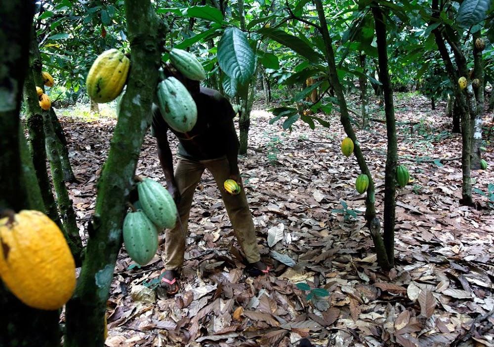 Ghana en Ivoorkus kan die kakaoproduksie plafon plaas