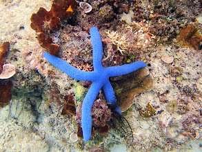 Photo: Linckia laevigata Blue (Linckia Starfish), Miniloc Island Resort reef, Palawan, Philippines.