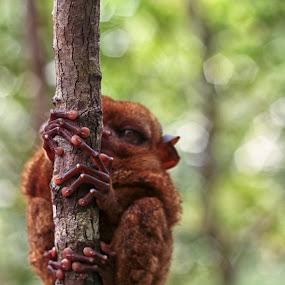 Tarsier by Coco Bordeos - Animals Other Mammals