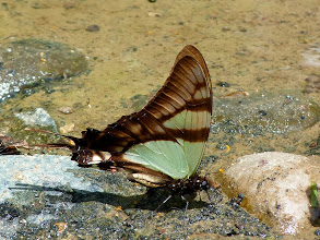 Photo: ORANGE-CLUBBED KITE-SWALLOWTAIL--eurytides serville--RIO PINGULLO--A MOST WANTED SPECIES!