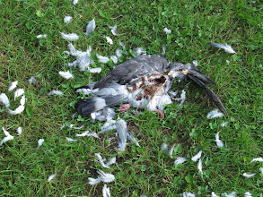 Photo: 7 Jul 13 Castle Farm Way: A mangled Wood Pigeon carcass. The breast has been well-excavated which suggests Peregrine as responsible but the body was on the ground alongside Castle Farm Way and I would not expect a Peregrine (or anything else come to that) to devour prey there. (Ed Wilson)