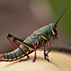 Eastern Lubber Grasshopper (nymph)