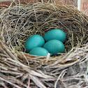 American Robin Nest/Eggs