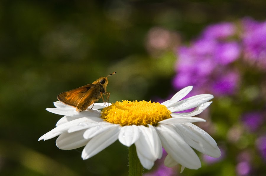 by Karen Burgess - Nature Up Close Flowers - 2011-2013 ( butterfly, nature, plants, daisy, insect, flower )