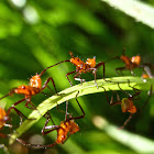 Leaf-footed Bug nymphs and egg case