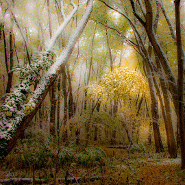 by Stephen  Barker - Landscapes Forests ( early winter, forest, light, snow, trees )