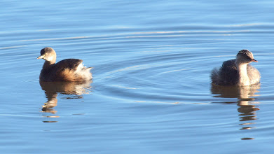 Photo: Australasian (L) and Hoary-headed (R) Grebes