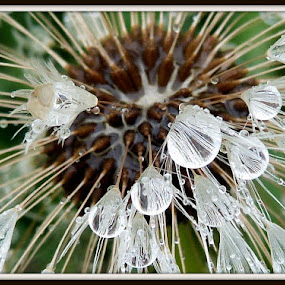 Water Droplets on a dandelion by Carol Milne - Artistic Objects Other Objects