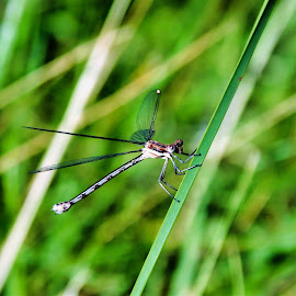 dragon in the grass by Bruce Newman - Animals Insects & Spiders ( dragonfly, macro, natural light, insect, nature up close, colorful,  )
