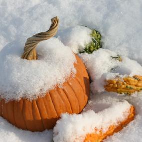 Snowy Ppumpkins by Gwen Paton - Food & Drink Fruits & Vegetables ( orange, pumpkins, snow,  )