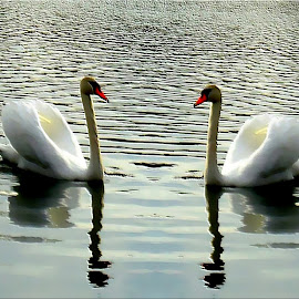 Twins by Zuzana Stolzová - Uncategorized All Uncategorized ( water, ponds, nature, swan, birds )
