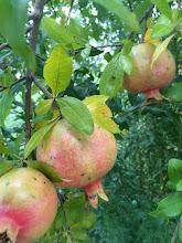 Photo: Pomegranates