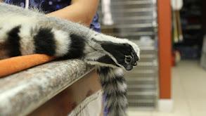 Leave It to Lemur thumbnail