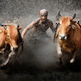 The Cow Race by MemenSaputra Mms - Sports & Fitness Rodeo/Bull Riding ( pacu, indonesia, jawi, cow race, cow, pacu jawi, minnagkabau, kabau, race, minang, culture )