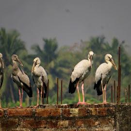 An evolution by Nisha B. - Animals Birds ( wetlands, kolkata, birdsofindia, ramsar, birds, stork, savewetlands, kolkatabirds, wildlife,  )
