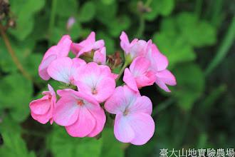 Photo: 拍攝地點: 梅峰-溫帶花卉區 拍攝植物: 天竺葵 拍攝日期: 2015_06_09_FY