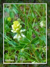 Photo: Trèfle douteux, Trifolium dubium