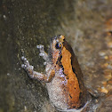 Banded Bullfrog