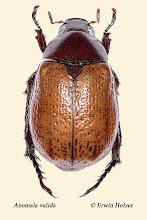 Photo: Anomala valida, 20 mm, Costa Rica, Esquinas Rainforest (08°42´/-83°12´), leg. Erwin Holzer, det. Angel Solis