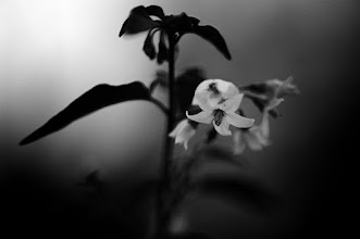 Photo: goodnight G+, its been an interesting day For #floralfriday by +Tamara Pruessner  #bwphotography #flowersphotography