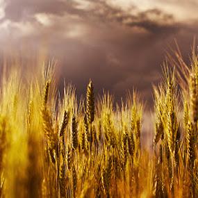 Corn field. by Denis Klicic - Landscapes Prairies, Meadows & Fields ( field, sky, dramatic, gold, corn )