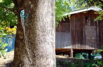 Photo: Large Tree Lizard #WildlifeWednesday  Photography by Justin Hill ©