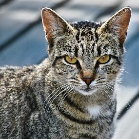 by Doug Wean - Animals - Cats Portraits ( cat, kitten, cat eyes, cat portrait, fur, mammal,  )