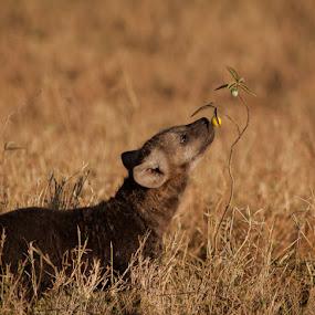 Hyena Pup by Ken Dyball - Animals Other ( hyena pup kenya masai mara smelling )