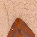 Southern Pink-striped Oakworm Moth