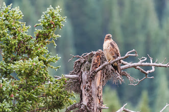 Photo: Red tailed hawk at nest along Million Dollar Highway