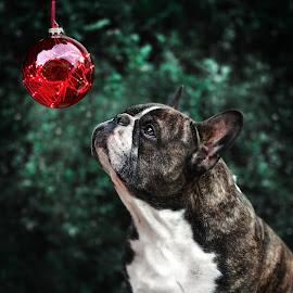 Christmas-Dog by Runa Nightsongwoods - Animals - Dogs Portraits ( bulldog, bokeh, winter, christmas, dog portrait )