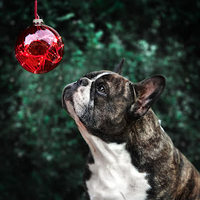 Christmas-Dog by Runa Nightsongwoods - Animals - Dogs Portraits ( bulldog, bokeh, winter, christmas, dog portrait )
