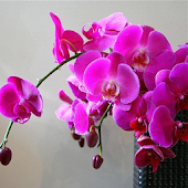 Orchid Flowers HD Wallpapers